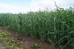 Зеленое пшеничное поле в лете Стоковые Изображения