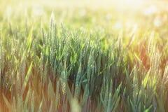Зеленое пшеничное поле - незрелая пшеница осветила солнечным светом, поздно вечером в пшеничном поле Стоковые Изображения RF