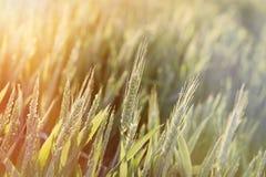 Зеленое пшеничное поле - незрелая пшеница осветила солнечным светом, поздно вечером в пшеничном поле Стоковая Фотография RF