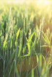 Зеленое пшеничное поле - незрелое пшеничное поле пшеницы осветило солнечным светом Стоковое Изображение