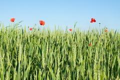 Зеленое пшеничное поле с одичалыми маками и голубым небом Стоковые Изображения