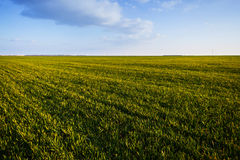 Зеленое пшеничное поле Стоковые Изображения RF