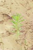 Зеленое растение в песке Стоковая Фотография