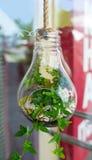 Зеленое растение в стеклянном шарике украшения висит на веревочке Стоковое Фото