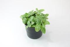 Зеленое растение изолированное на белой предпосылке Стоковые Изображения