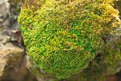 Зеленое растение мха на камне Стоковая Фотография RF