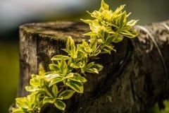 Зеленое растение на старом дереве Стоковые Изображения RF
