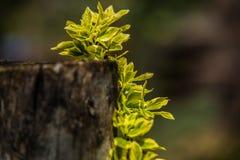 Зеленое растение на старом дереве Стоковое фото RF