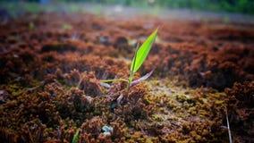 Зеленое растение растет вверх от почвы Стоковые Изображения RF