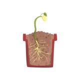 Зеленое растение растя от семени фасоли в баке с земной почвой, этапом роста, баком в векторе поперечного сечения иллюстрация штока
