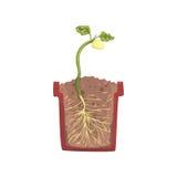 Зеленое растение растя от семени фасоли в баке с земной почвой, этапом роста, баком в векторе поперечного сечения Стоковое Изображение