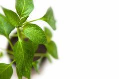Зеленое растение с падением воды на белизне с космосом экземпляра, предпосылкой Стоковые Изображения