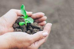 Зеленое растение с сухой почвой в руках женщины Стоковые Фотографии RF