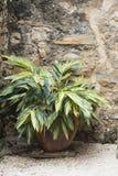 Зеленое растение Varigated рядом с каменной стеной Стоковое Фото