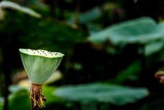 Зеленое семя лотоса на предпосылке лист лотоса стоковая фотография
