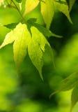 Зеленое сочное folliage стоковая фотография