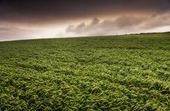 Зеленое травянистое поле с золотыми облаками Стоковое Изображение