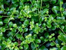 Зеленое цветение Стоковое Изображение