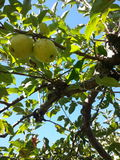 Зеленое Яблоко в саде во время сезона падения осени Стоковое Изображение