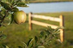 Зеленое яблоко в саде прудом Стоковые Фотографии RF