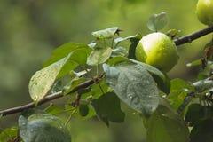 Зеленое яблоко на ветви яблони Стоковые Фото