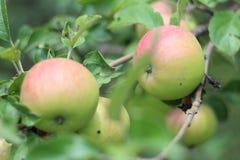 Зеленое яблоко на ветви Стоковая Фотография RF