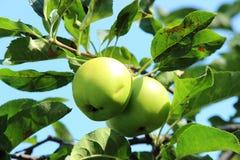 Зеленое яблоко на ветви Стоковые Изображения RF
