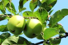 Зеленое яблоко на ветви Стоковое Изображение RF