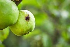 Зеленое яблоко с отверстием червя Стоковые Фото