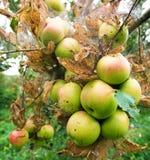 Зеленое яблоко с смертной казнью через повешение отверстия червя от дерева Стоковые Изображения