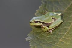Зеленое arborea Hyla древесной лягушки на лист дерева Стоковые Изображения
