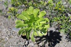 Зеленое arboreum Aeonium Стоковые Изображения