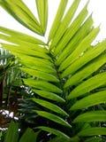 зеленое backgroung лист ладони Стоковая Фотография RF