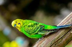 Зеленое Budgie Стоковые Изображения