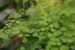 Зеленое capilliaire Стоковое фото RF