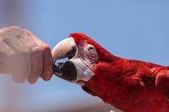 Зеленое chloropterus Ara птицы попугая ары крыла Стоковые Фотографии RF
