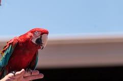 Зеленое chloropterus Ara птицы попугая ары крыла Стоковое фото RF