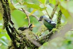 Зеленое Cochoa, вложенность птицы на дереве как предпосылка птицы Стоковое фото RF