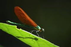 Зеленое dargon стоковое фото rf