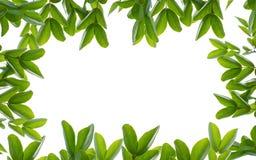 Зеленое fream лист стоковое изображение rf