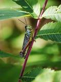 Зеленое grasshoopper Стоковое Изображение RF