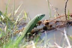 Зеленое lezard Стоковые Изображения RF