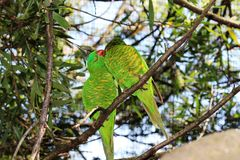 2 зеленое Lorikeets Стоковая Фотография RF