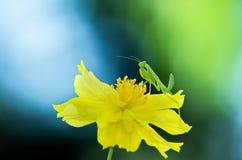 Зеленое patellifera Hierodula Стоковые Фотографии RF