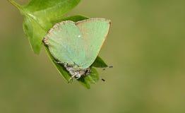 Зеленое rubi Callophrys бабочки Hairstreak садилось на насест на лист Стоковое фото RF