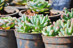 Зеленое rubrotinctum Sedum в вазе Стоковая Фотография RF