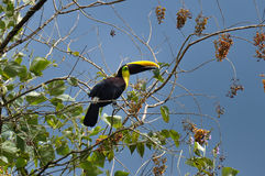 Зеленое Toucan в полуострове Osa, Коста-Рика Стоковое Изображение