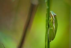 зеленое treefrog Стоковая Фотография RF