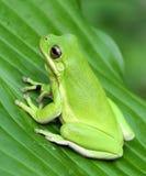 зеленое treefrog стоковое изображение rf
