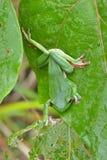 зеленое treefrog Стоковая Фотография